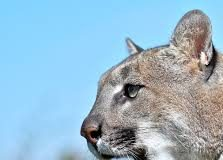 Software Engineer Cougar